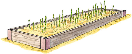 Asparagus raised bed drawing