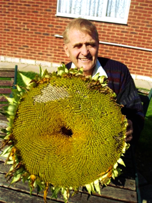 Russian Mammoth Sunflower huge